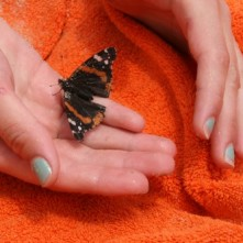 Red Admiral butterfly on orange towel