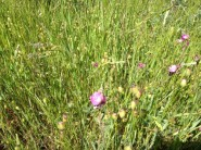 Pink blossoms in grass