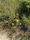 Yellow flowers in grass