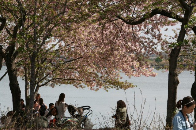 People hanging out beneath the cherry blossoms.