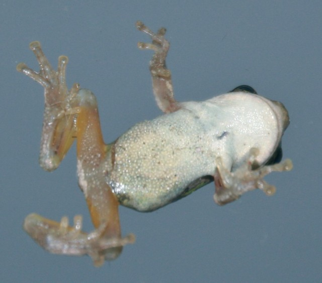 underside of frog with a white belly and yellow legs